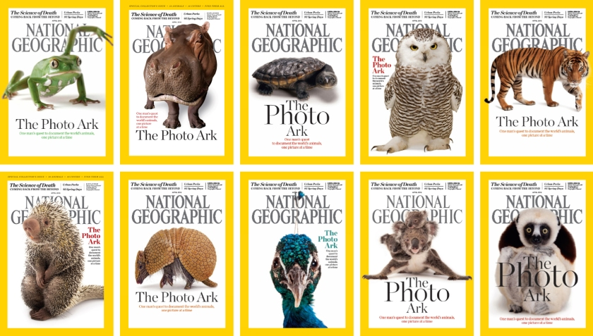 Top row, from left: waxy monkey tree frog, hippopotamus, Reimann's snake-necked turtle, snowy owl, Malayan tiger. Bottom row, from left: Brazilian porcupine, southern three-banded armadillo, Indian peafowl, mother and baby koalas, Coquerel's sifaka. (National Geographic)