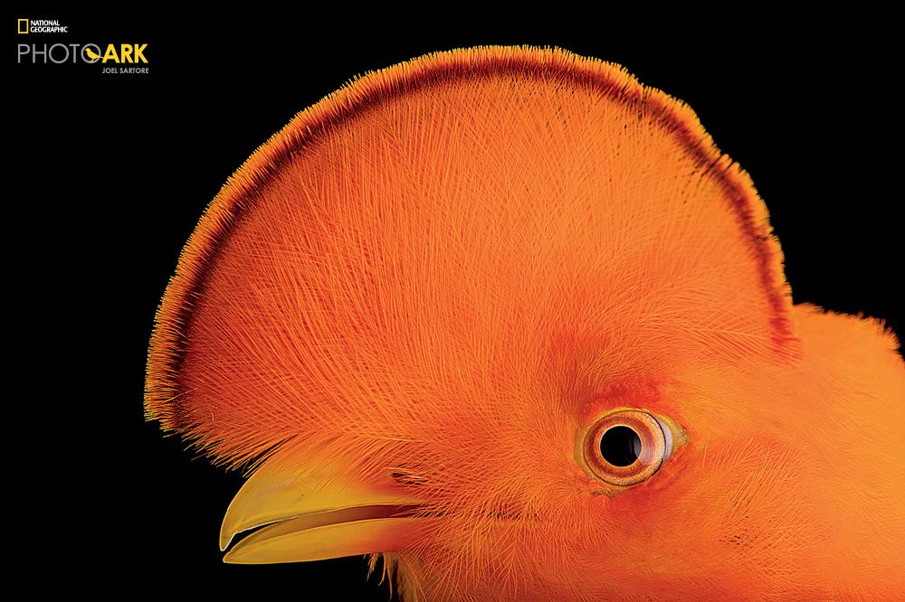 Guianan Cock of the Rock (Rupicola rupicola) at the Dallas World Aquarium. (Joel Sartore/National Geographic)