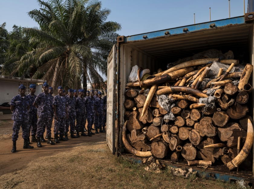 LOME', TOGO, 29 JANUARY 2014: Containers with 4 tons of illegal ivory confiscated in January 2014 by the Togolese customs office from its new deep water port, Lome,' Togo. This ivory has been directly linked through DNA evidence to the elephant massacre that occured in Dzanga Bai, Central African Republic in 2013. That massacre was perpetrated by Seleka rebels who climbed the observation towers at the famous forest elephant gathering place in Dzanga Bai and gunned down the elephants with automatic weapons. The Seleka rebels would have used the proceeds from this ivory sale for some of the violence which has plagued C.A.R over much of 2013 and 2014. Togo has been viewed as a new opportunity by ivory smugglers with its new deep water port. Customs officers with new Container scanning technology have made the efforts of these smugglers more difficult. World Press Photo 2016 Contest