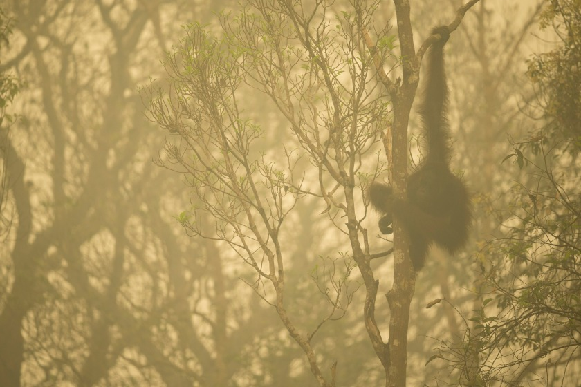 Unflanged male orangutan in a strip of remaining forest along the edge of the Mangkutup River, seen through the smoke of forest fires. Forest away from the river has burned. Bornean Orangutan (Pongo pygmaeus wurmbii Central Kalimantan Province, Indonesia Island of Borneo World Press Photo 2016 Contest