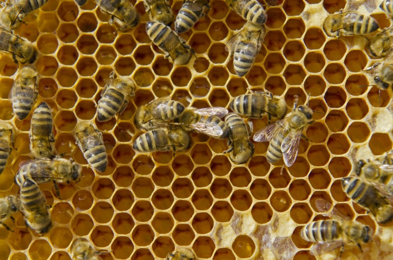 NUERTINGEN, BADEN-WUERTEMBERG, GERMANY - 2012/07/28: Carniolan honey bees (Apis mellifera carnica), a subspecies of the western honey bee, are filling the hexagonal cells of their Honeycomb.. (Photo by Frank Bienewald/LightRocket via Getty Images) Why Nature Prefers Hexagons The geometric rules behind fly eyes, honeycombs, and soap bubbles. http://nautil.us/issue/35/boundaries/why-nature-prefers-hexagons