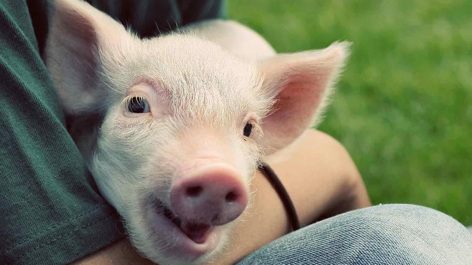 Pig held by man (Getty)