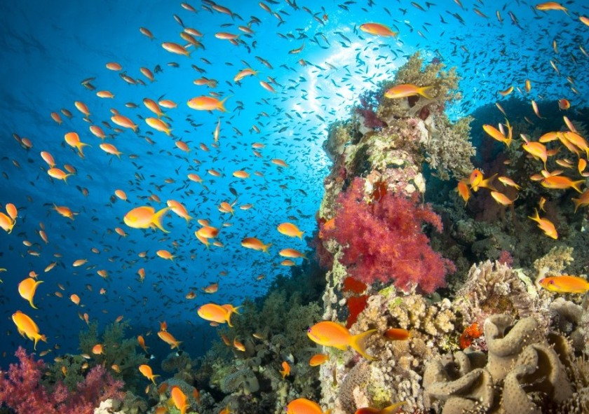 A healthy coral reef thriving with life. Hard corals, soft corals, Anthias fish and lots of others build up a small ecosystem around scattered underwater mounts. Red Sea, Egypt. (Getty)