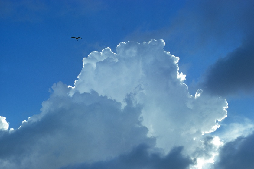 Magnificent frigatebird soaring in updrafts associated with cumulus congestus clouds, Fregata magificens, Mona Island, Mona Passage, Commonwealth of Puerto Rico, USA, (Photo by Wild Horizons/UIG via Getty Images)