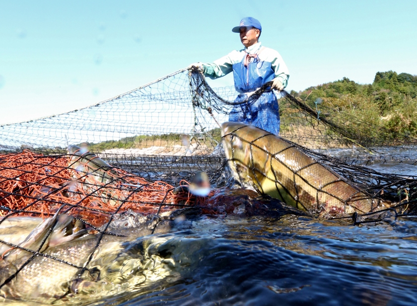 A member of a fisheries cooperative association captures salmon in a traditional net on the Kidogawa river on October 18, 2015 in Naraha, Japan. It was the first time the fishing operations took place since the nuclear disaster at the nearby Fukushima Daiichi Nuclear Power Plant. Authorities gave the green light to shipping Kidogawa river salmon after a survey conducted by the Fukushima prefectural government found that levels of radioactive materials detected in the fish were below the central government's safety standard of 100 becquerels per kilogram. (The Asahi Shimbun via Getty Images)
