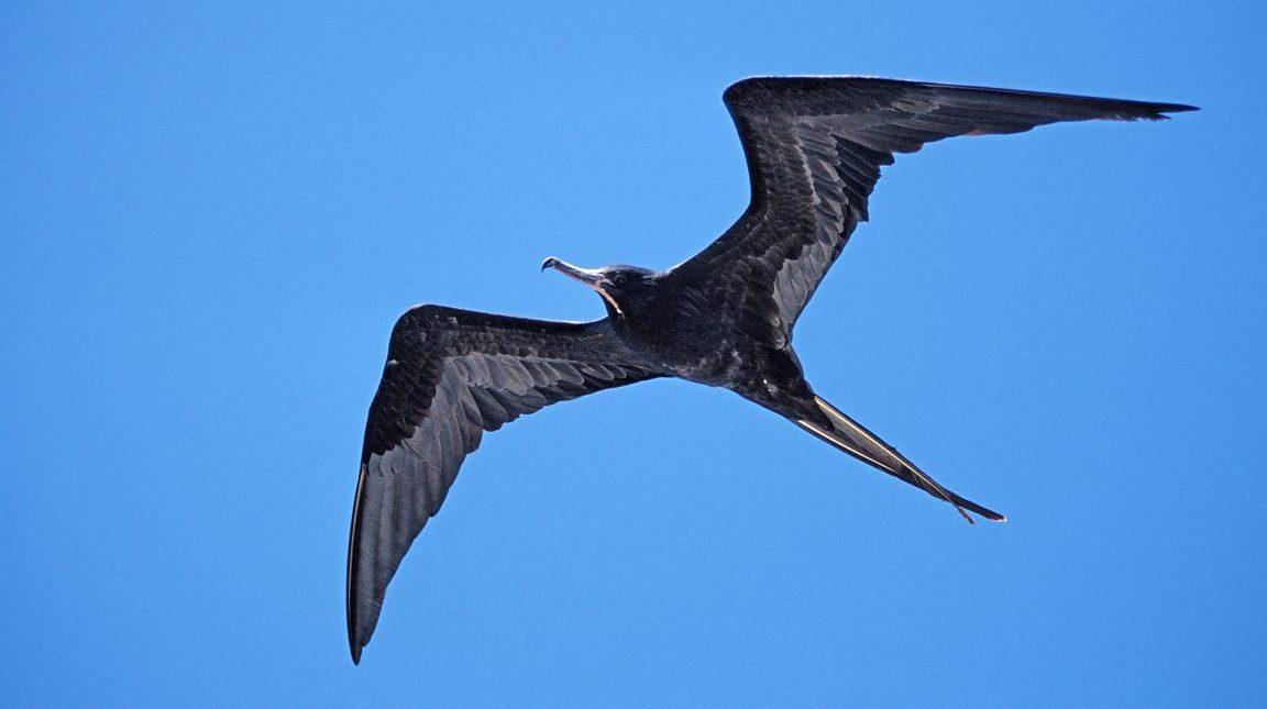 A great frigate bird flying over Galapagos, Island  (Reinhard Dirscherl/ullstein bild via Getty Images)