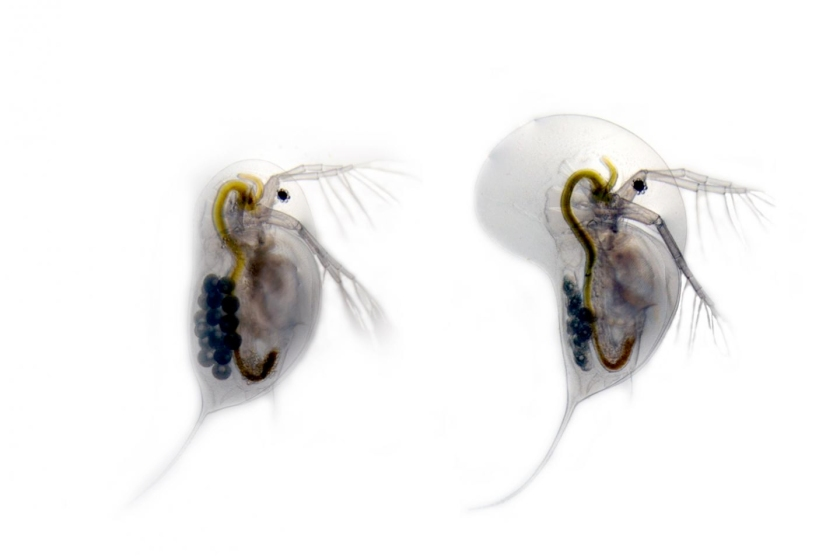 Undefended Daphnia longicephala (left) is compared with the defended phenotype (right). The defended phenotype has a large crest as well as elongated tail spines in response to chemical cues from the backswimmer Notonecta glauca. (Dr. Linda Weiss)