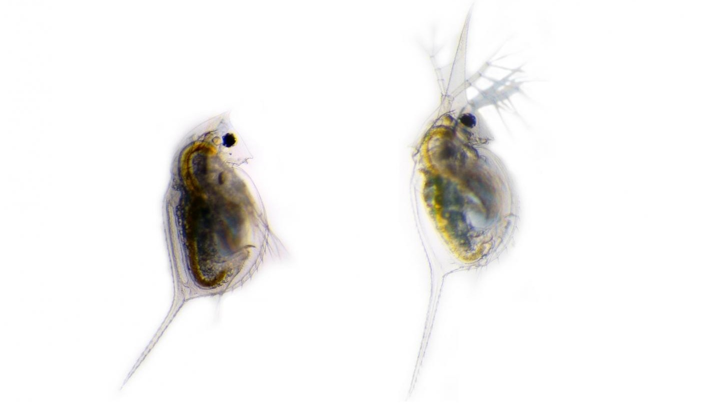 Undefended Daphnia lumholtzi (left) is compared with the defended phenotype (right). The defended phenotype has remarkably elongated head and tail-spines in response to chemical cues from the three-spined stickleback Gasterosteus aculeatus. (Dr. Linda Weiss)