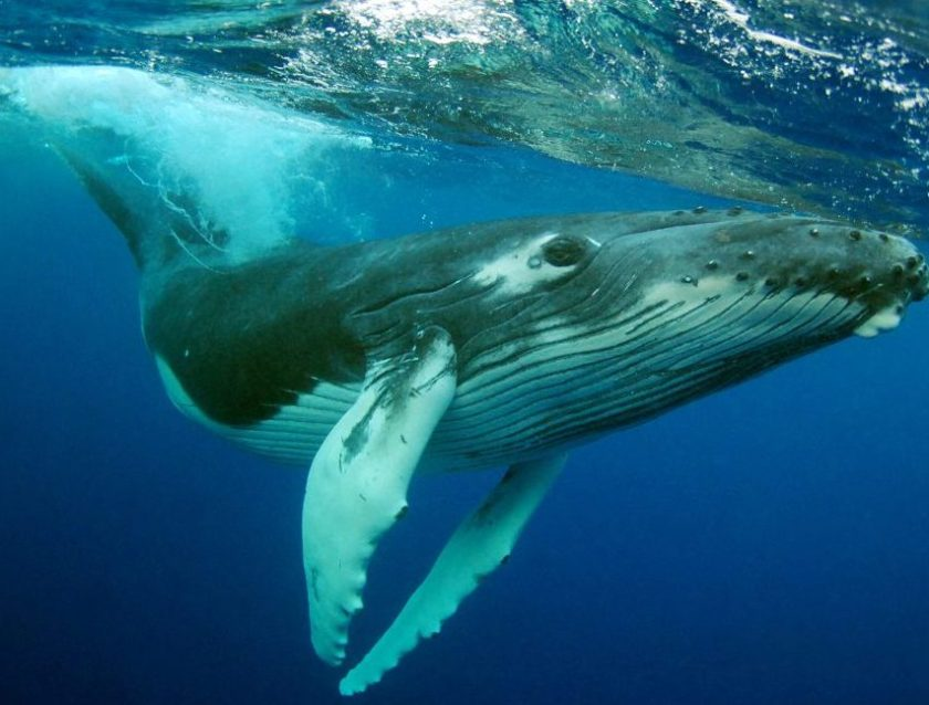 Humpback Whale (Kate Westaway/Stone/Getty Images)