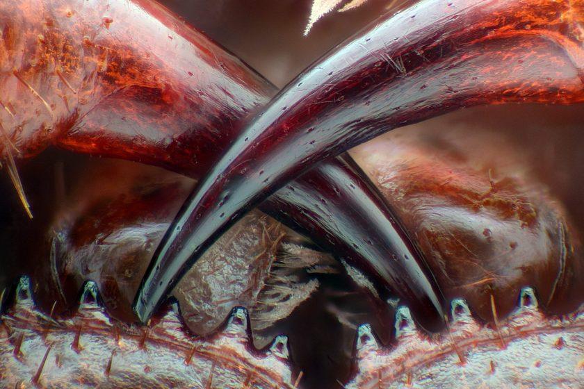 Poison fangs of a centipede (Walter Piorkowski)