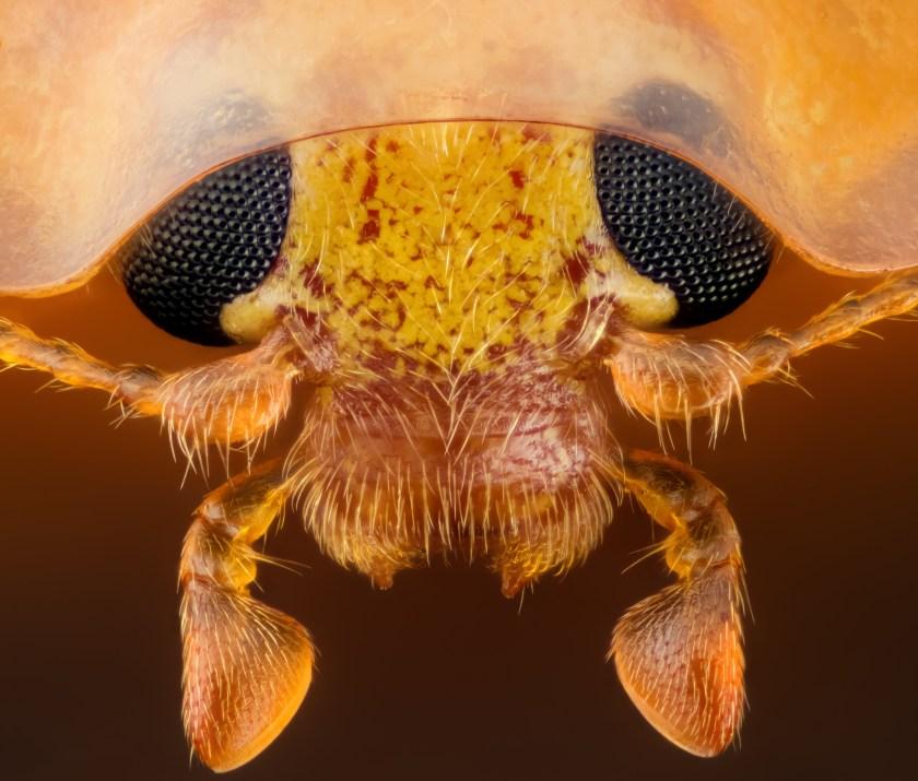 Head section of an orange ladybird (Geir Drange)
