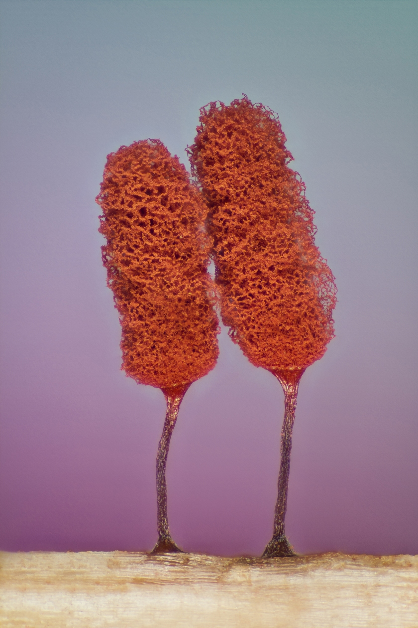 Slime mold (Jose Almodovar)