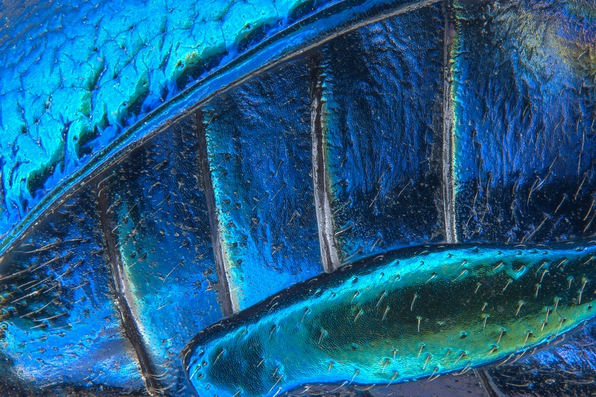 Parts of wing-cover, abdominal segments and hind leg of a broad-shouldered leaf beetle (Pia Scanlon)