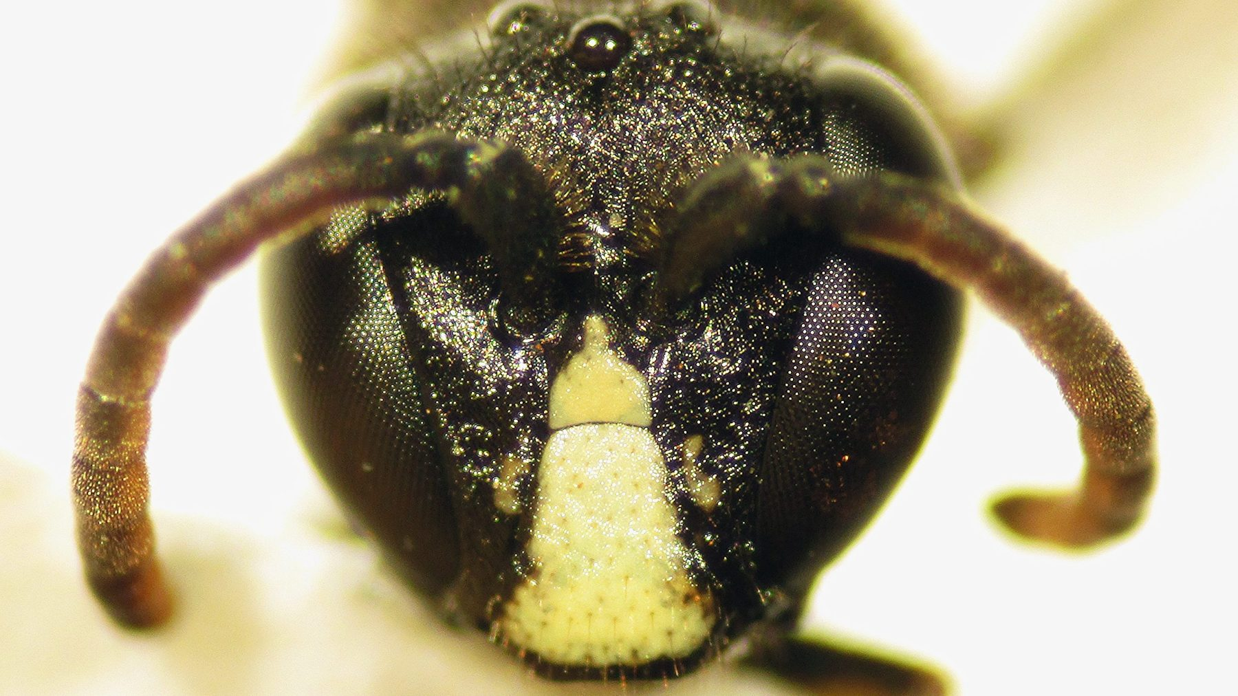Close-up of yellow-faced bee (Forest Starr and Kim Starr/Flickr)