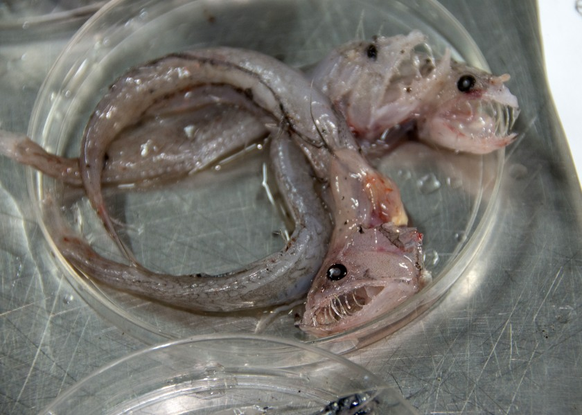 In this Sept., 2016 photo provided by the National Oceanic and Atmospheric Administration, swallower fish that were found off the coast of Hawaii's Big Island are shown. Federal researchers just returned from an expedition to study the biodiversity and mechanisms of an unusually rich deep-sea ecosystem off the coast of Hawaii. (NOAA via AP)