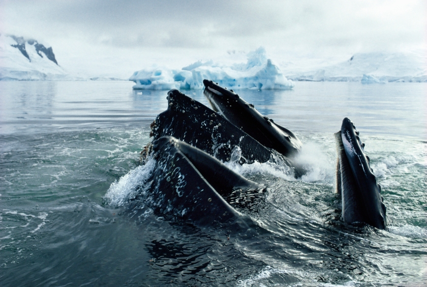 Humpback whales eating krill in the Ross Sea