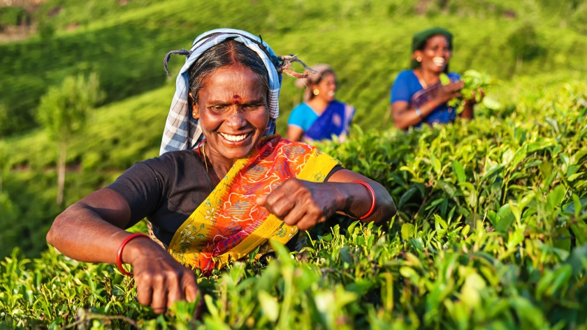 Tamil women collecting tea leaves in Southern India, Kerala. India is one of the largest tea producers in the world, though over 70% of the tea is consumed within India itself. (Bartosz Hadyniak/E+/Getty Images)