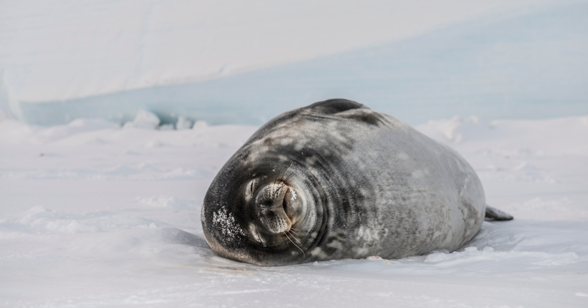 Weddell Seal on the frozen surface of the Ross Sea. (Getty Images)