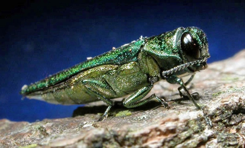 FILE- In this undated file photo provided by the Minnesota Department of Natural Resources, an adult emerald ash borer is shown. Millions of tiny wasps as small as a grain of rice have been released into wooded areas in 23 states as the battle against the emerald ash borer turns biological. The U.S. Department of Agriculture has researched and approved for release in the U.S. four species of parasitic wasps that naturally target the larval and egg stages of the ash borer. (Minnesota Department of Natural Resources/AP)