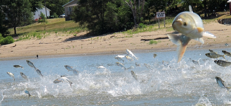 FILE - In this June 13, 2012 file photo, Asian carp, jolted by an electric current from a research boat, jump from the Illinois River near Havana, Ill. A years-long effort to find a strategy to keep the invasive Asian carp out of the Great Lakes appears to be coming up empty. An advisory panel considering options is scheduled to go out of business Thursday, still deadlocked. (AP Photo/John Flesher, File)