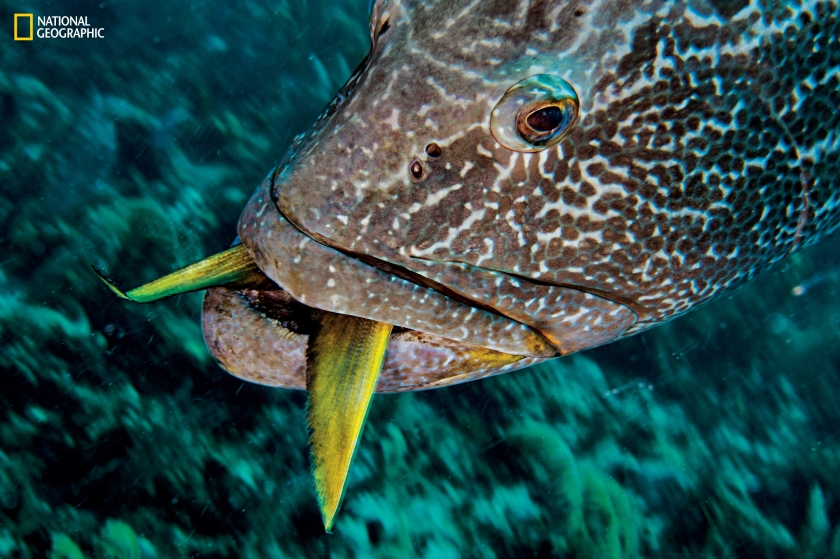 Besides silky sharks, predators include Caribbean reef sharks and large fish such as the black grouper (Mycteroperca bonaci), seen above consuming a snapper. (David Doubilet and Jennifer Hayes / National Geographic)
