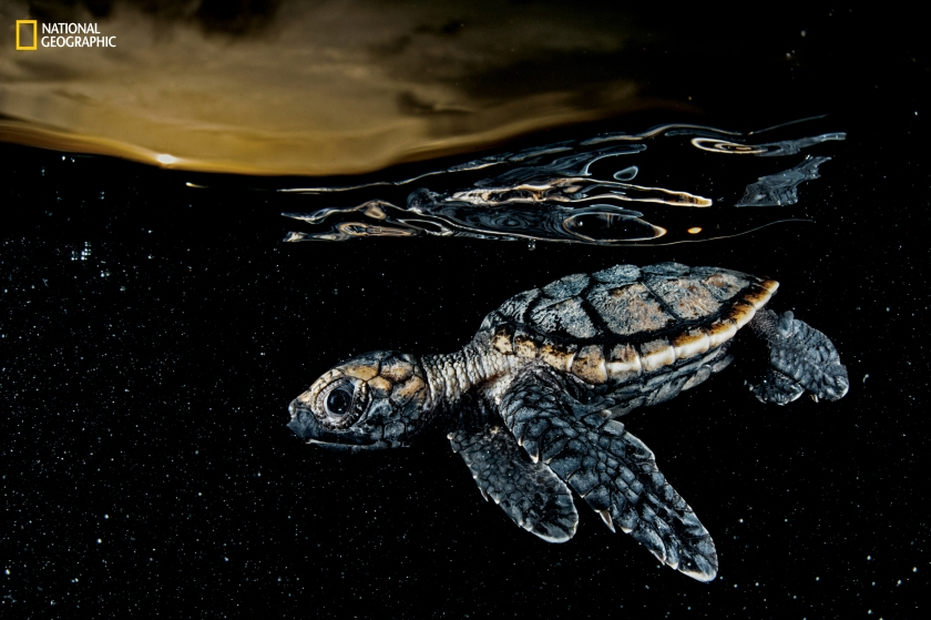 A critically endangered hawksbill sea turtle hatchling (Eretmochelys imbricata), about three inches long, paddles away from shore under the protective cover of dusk. Cuba banned the harvest of sea turtles in 2008. (David Doubilet and Jennifer Hayes / National Geographic)