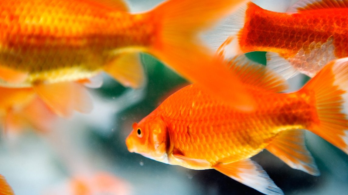 Close-up, side view of goldfish swimming in an aquarium. (Getty Images)