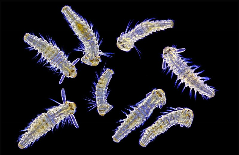 USA: Feature Rates Apply Mandatory Credit: Photo by SpikeWalker/RPS/Bournemouth/REX/Shutterstock (6047461d) Living Spionid larvae from marine plankton. Microscope images of creatures, vitamins, crystals, UK - Sep 2016 *Full story: http://www.rexfeatures.com/nanolink/srsr These incredible microscopic images of creatures, vitamins, crystals and even a fetus are to be recognised with an award from the Royal Photographic Society. Spike Walker has been fascinated by photomicrography since he got his first microscope just after the conclusion of the Second World War, when he was about 12-years-old. Now his life's passion is to be recognised with a Scientific Imaging Award from one of the world's oldest and prestigious photographic societies. The accolade is given to an individual for a body of photography which promotes public knowledge and understanding. The RPS said Spike's decades of work and immeasurable contribution to the field make him the perfect recipient.