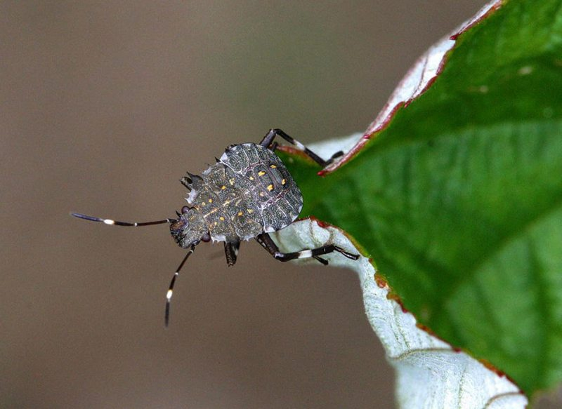 Asian Stink Bug (Deepak Matadha/AP)