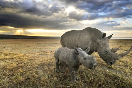 A white rhino and her baby head towards home after a long day of grazing in Nakuru. (Getty Images)