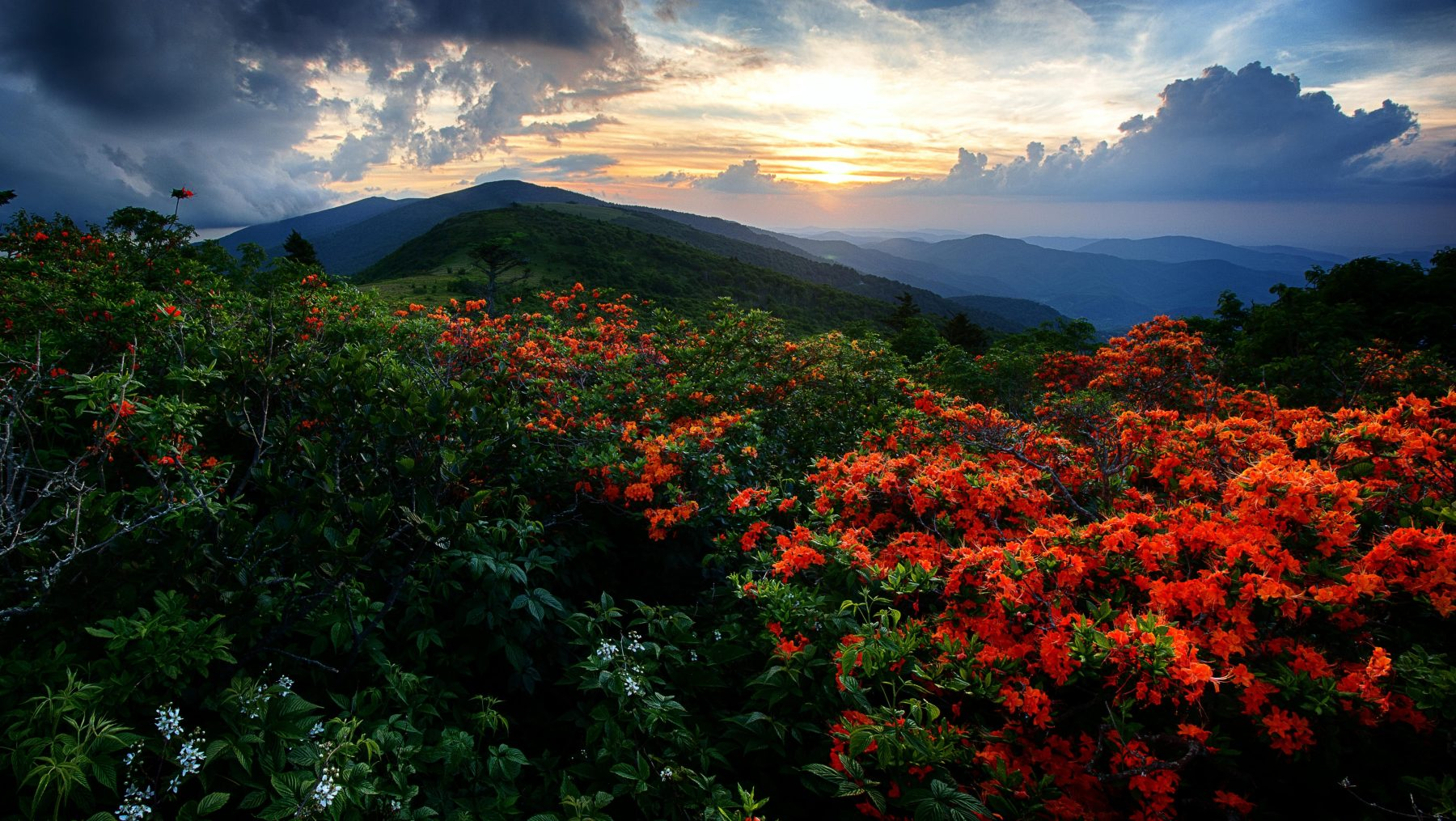 Flame Azaleas along the Appalachian trail at sunset at Roan Highlands on the Tennessee-North Carolina border. (Getty Images)