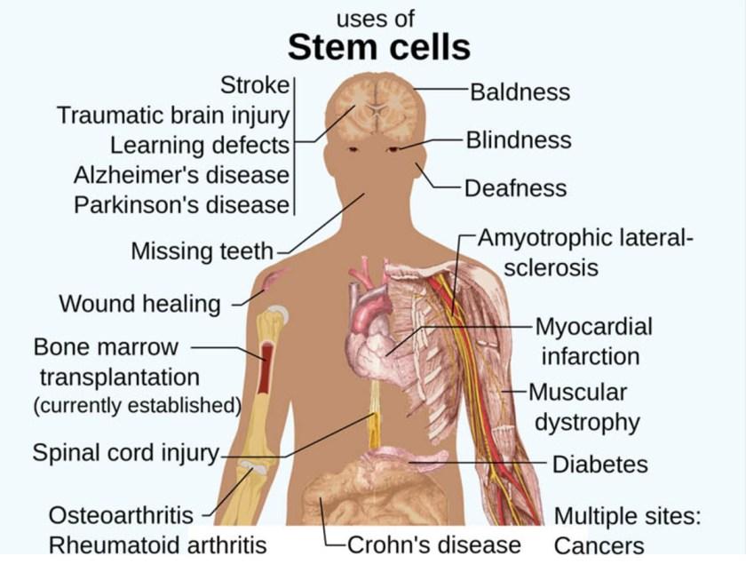 stem-cell-2-1117