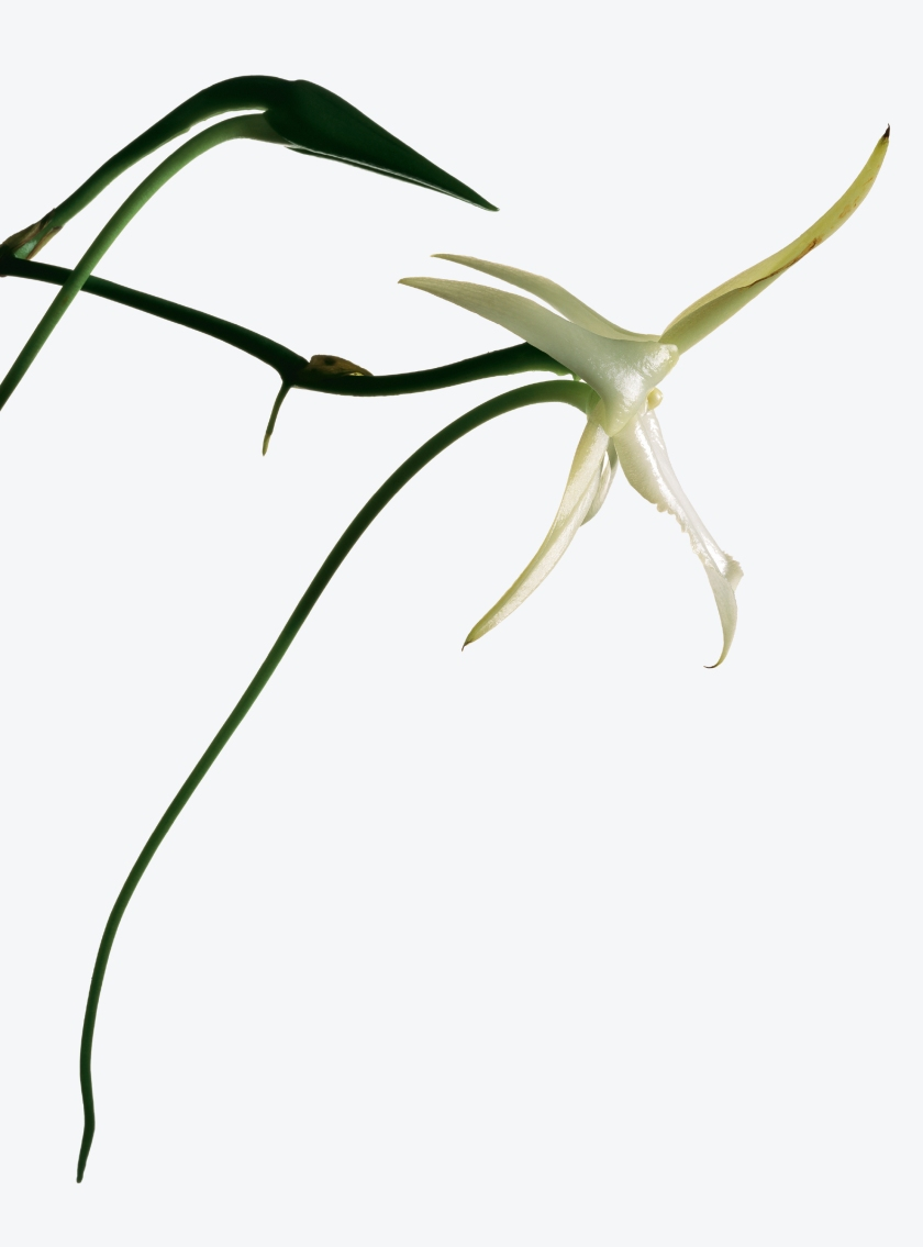Angraecum sesquipe¬dale, now commonly known as Darwin's orchid, a species from Madagascar (Robert Clark/Published by Phaidon)