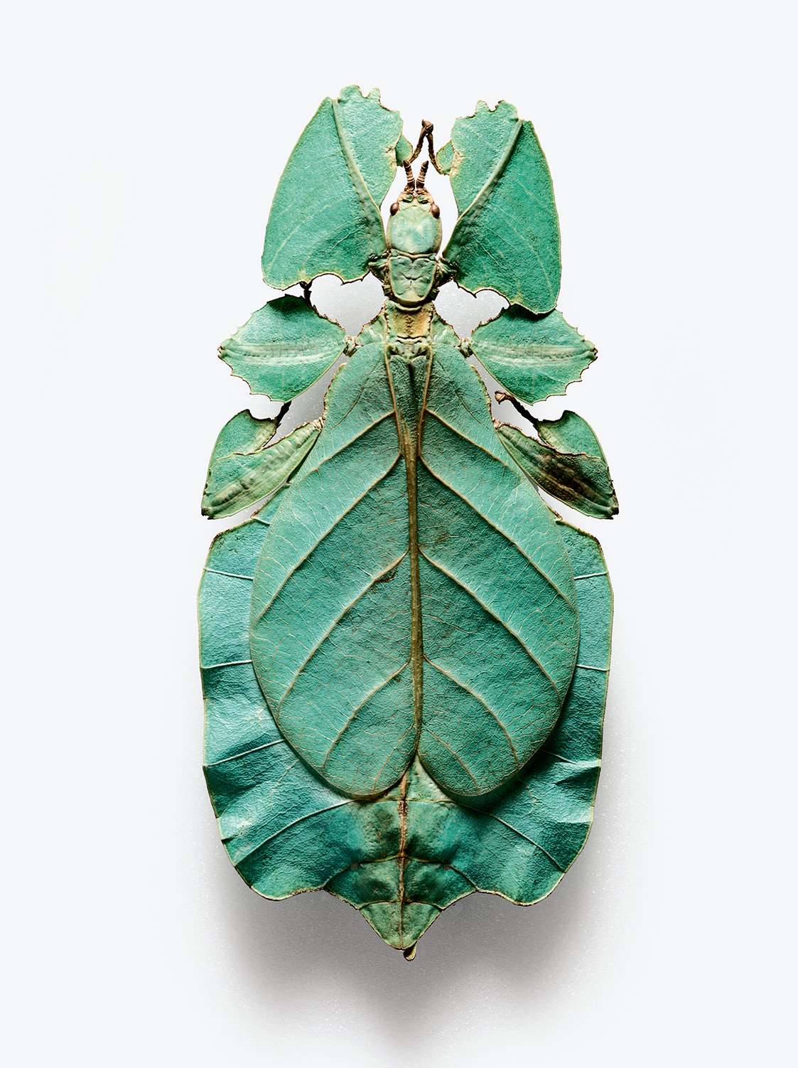 """True leaf insect or """"walking leaf"""" (Robert Clark/Published by Phaidon)"""