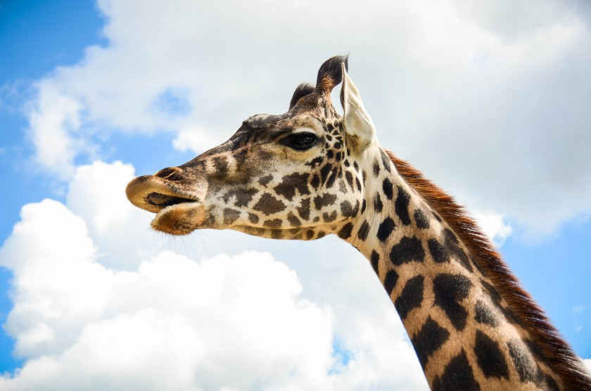 A giraffe on a sunny day (CetusCetus/Flickr)