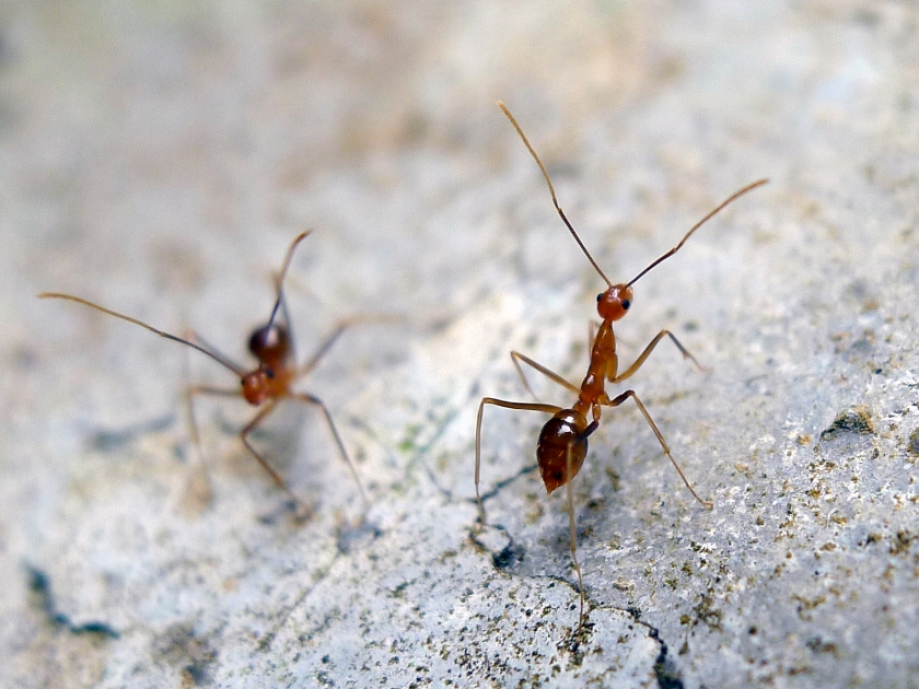 Yellow crazy ants, an invasive species, are causing havoc on Christmas Island (John Tann/Flickr)