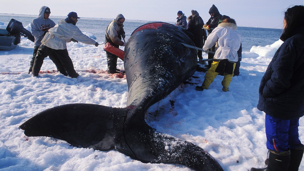 BARROW, AK:  EDITOR'S NOTE: THIS PICTURE MAY NOT BE USED TO PROMOTE ANTI-WHALING CAMPAIGNS. Members of the ABC whaling crew take part in the butchering of a bowhead whale in the spring of 2003 in the outskirts of Barrow, Alaska. In the United States northernmost city of Barrow, the Inupiat people keep their traditions alive by hunting on small seal skin-made boats equipped with old style harpoons. The hunt of the bowhead whale is the basis of this people's culture, happening every year on spring and autumn. Still like their ancestors did, the Inupiat never sell the meat of their prey, instead they share it between those who helped hunting, towing and cutting the animal. Sited in Alaska's North Slope Borough, by the frozen shores of the Artic Ocean, Barrow is as small city housing a culturally immense and brotherly people. (Photo by Luciana Whitaker/LatinContent/Getty Images)