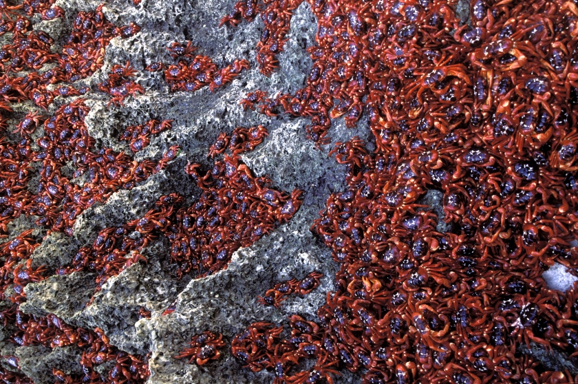 Christmas Island red crab migration (Getty Images)