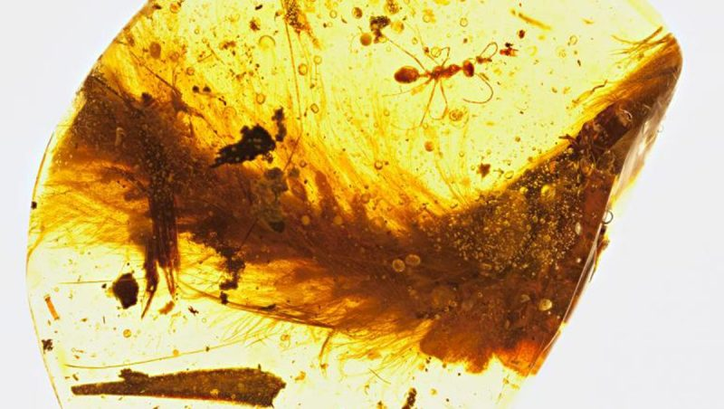A segment from the feathered tail of a dinosaur that lived 99 million years ago is preserved in amber. A Cretaceous-era ant and plant debris were also trapped in the resin. (R.C. McKellar/Royal Saskatchewan Museum/National Geographic)