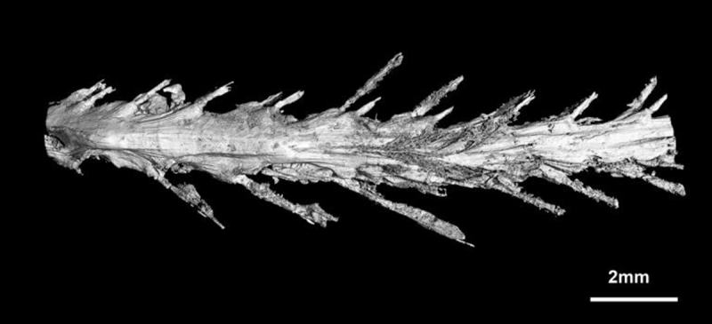 A scan of the underside of the tail shows the feather arrangement. (Lida Xing/National Geographic)