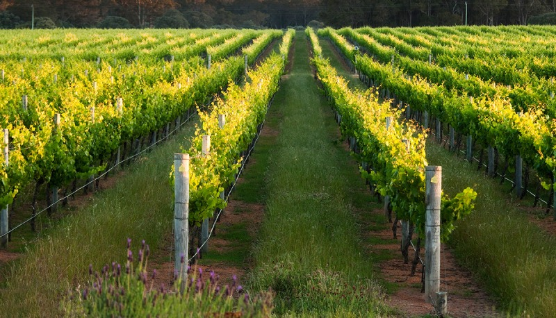 Rows of grape vines, winery, Margaret River, Western Australia, Australia, Pacific (Getty Images)