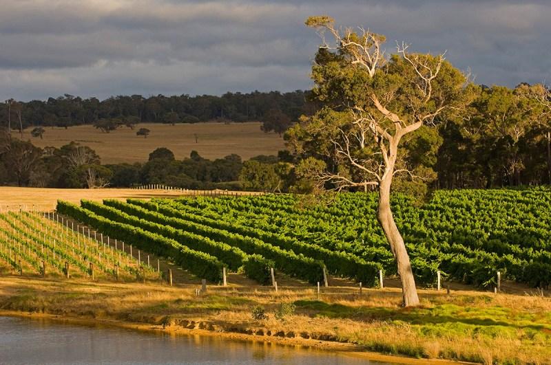Australia - Western Australia - Margaret RiverFire Gully vineyard, Wilyabrup. (Getty Images)