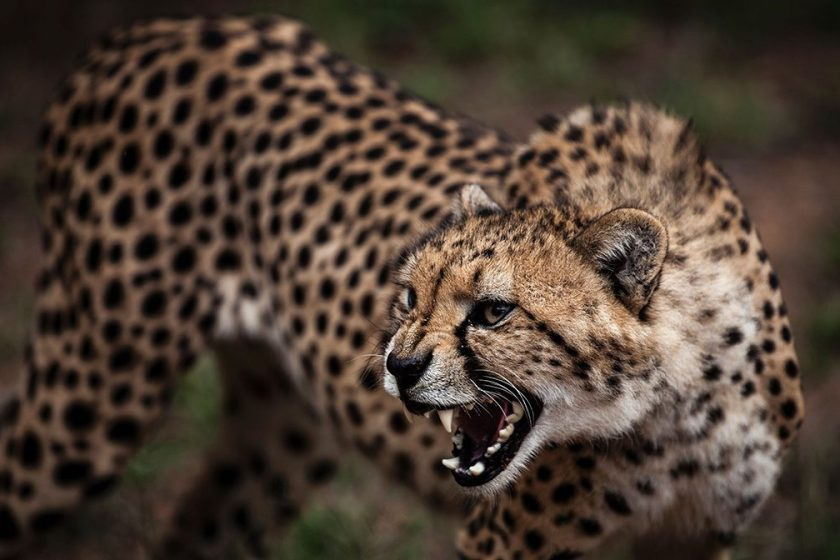 Cheetah Headed for Extinction
