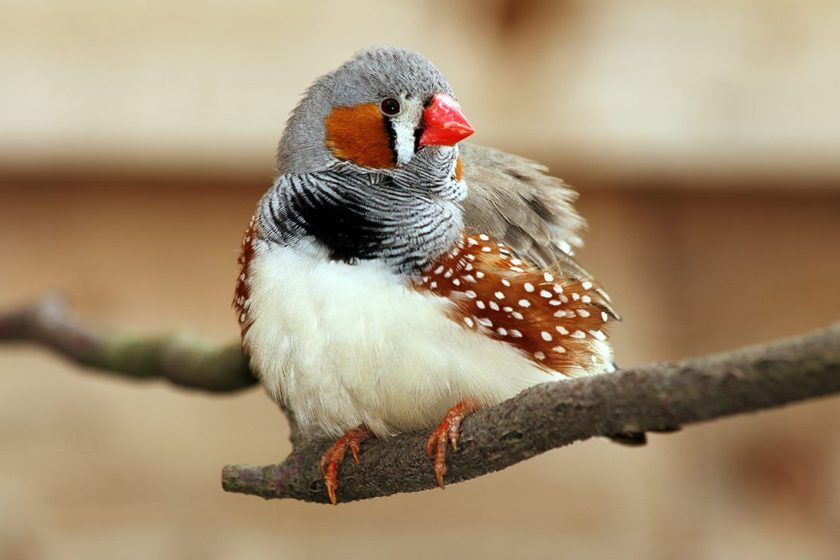 Zebra Finch perched on tree. (Getty Images)