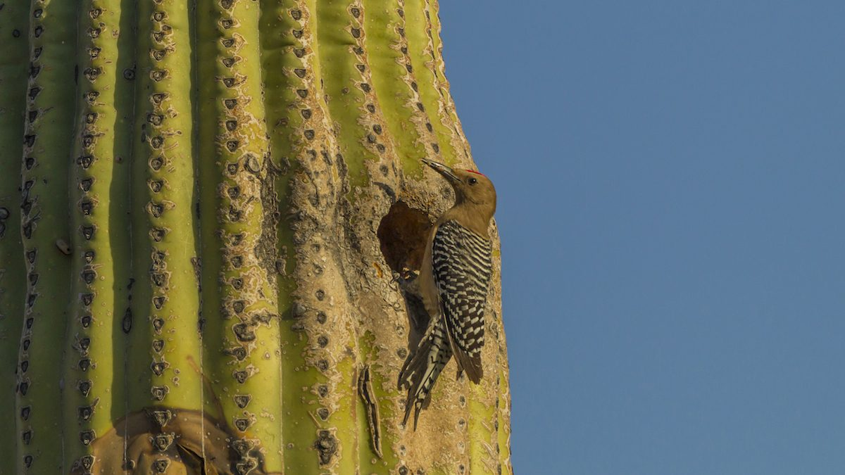 The Gila woodpecker (Melanerpes uropygialis) is a medium-sized woodpecker of the desert regions of the southwestern United States and western Mexico. In the U.S., they range through southeastern California, southern Nevada, Arizona, and New Mexico. The back and wings of this bird are spotted and barred with a black and white zebra-like pattern. The neck, throat, belly and head are greyish-tan in color. The male has a small red cap on the top of the head. Females and juveniles are similar, but both lack the red cap of the adult male. White wing patches are prominent in flight. The dark tail has white bars on the central tail feathers. They range from 8-10 in (20-25 cm) in length.