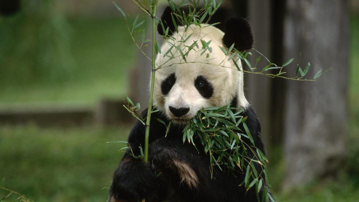 The History of Pandas Coming to America