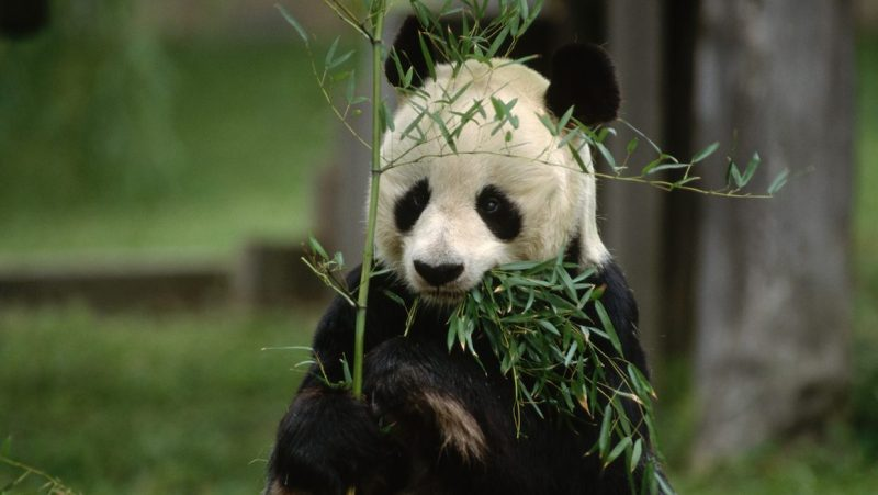 Hsing-Hsing Eats Bamboo at National Zoo