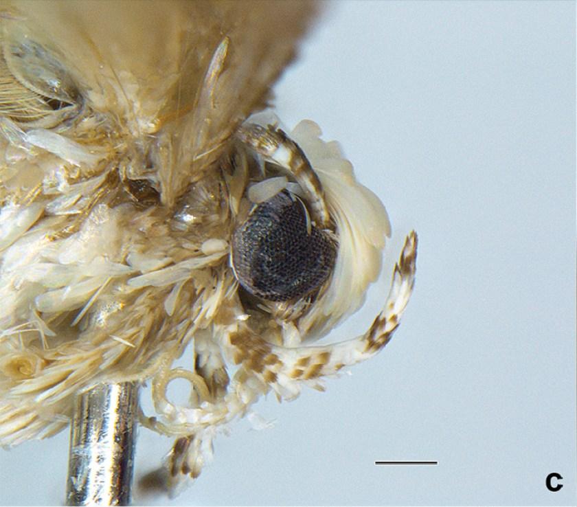 Moth species Neopalpa donaldtrumpi named after Donald Trump (Vazrick Nazari/ZooKeys Handout)