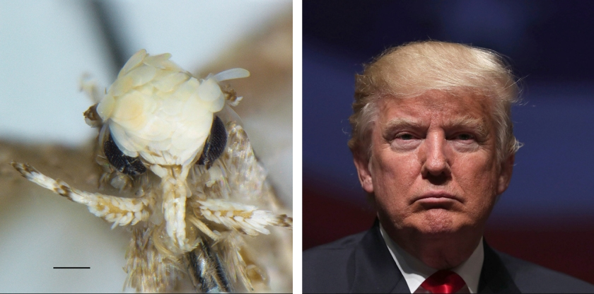 Moth species Neopalpa donaldtrumpi, left, named after Donald Trump, right (Vazrick Nazari/ZooKeys Handout; Alex Wong/Getty Images)