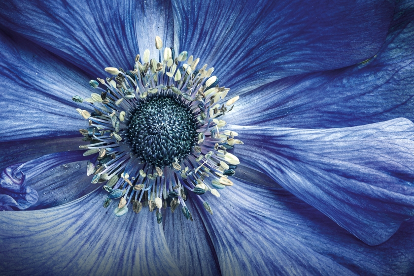 """""""We grow flowers on our balcony at home, which offer many photographic opportunities. I noticed the rich textures in the blue anemone's petals, and I waited for the flower's textures to be at their best. Choosing to shoot on an overcast day prevented harsh shadows from the sun affecting the image. I used a plant clip to steady the flower, enabling me to take 15 shots that I then photo stacked in post-processing."""" (Justin Garner)"""